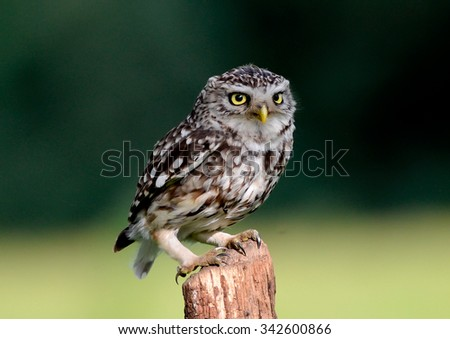 Little owl on post . Wild little owl sitting on a posts in Gloucester UK England, this is Britain's smallest  owl - stock photo