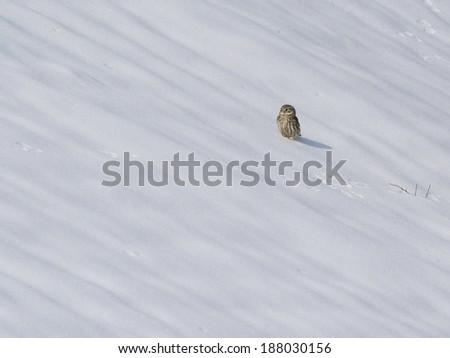 Little owl on snow field - stock photo