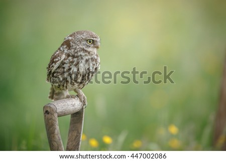 Little owl perched on a spade handle in England - stock photo