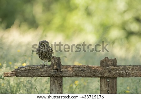 Little owl resting on an old fence - Steenuil - athene noctua  - stock photo