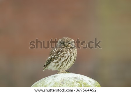 Little owl resting- steenuil- athene noctua