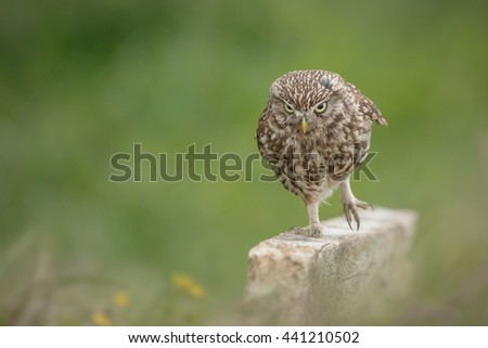 Little owl running along a fence - stock photo