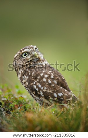 Little owl sitting in grass - stock photo