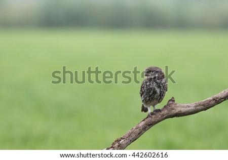 Little Owl sitting in the morning. - stock photo