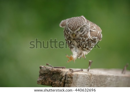 Little owl springing along a fence panel