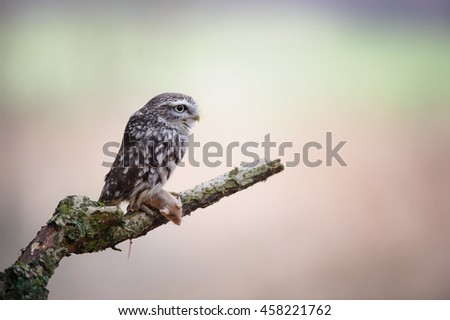 Little owl with mouse pray on tree branch with blurred background - stock photo