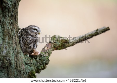 Little owl with mouse pray sitting next to tree trunk - stock photo