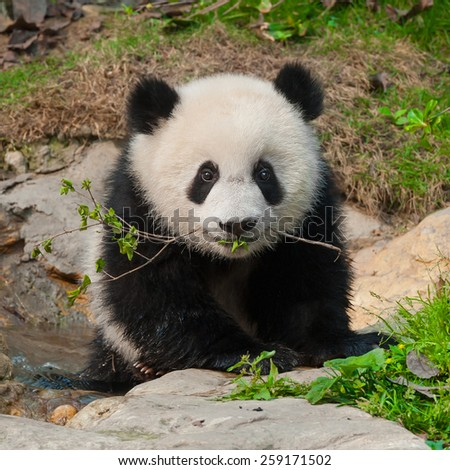Little panda cub with branch in mouth - stock photo