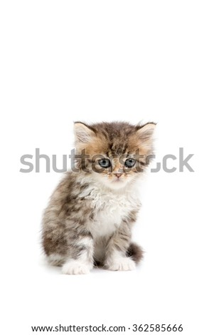 Little Persian tabby kitten on isolated background