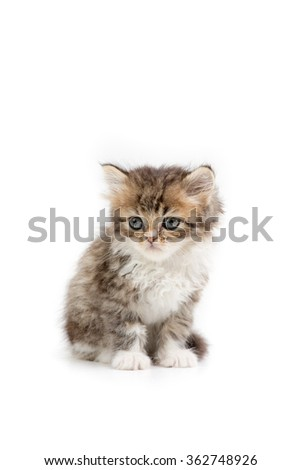 Little Persian tabby kitten on isolated background - stock photo