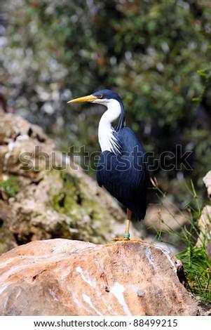 little pied cormorant microcarbo melanoleucos australian native bird