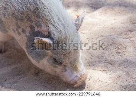 little pig on a farm - stock photo