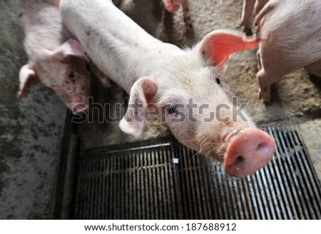 little piglets on a farm eating - stock photo