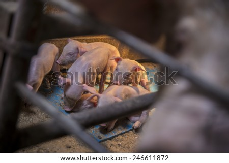 Little pigs. - stock photo