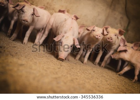 Little pigs at farm. Shallow depth of field. - stock photo