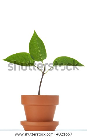Little plant with three leaves in small flower pot. Isolated on white background. Space for text. - stock photo