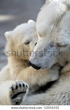 Little polar bear cub playing with his mom - stock photo