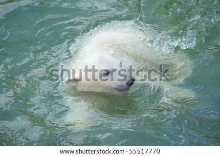 Little polar bear swimming in water - stock photo