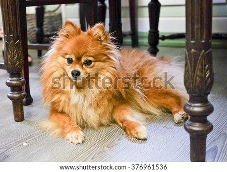 Little pomeranian spitz laying under the old table