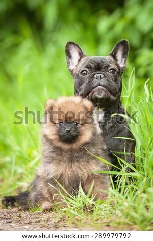 Little pomeranian spitz puppy with french bulldog - stock photo