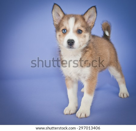 Little Pomsky puppy standing on a purple background with copy space. - stock photo