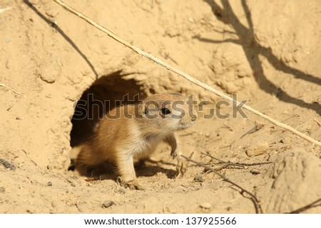 Little prairie dog coming out of its burrow - stock photo