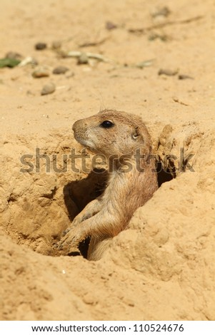 Little prairie dog looking out of its burrow - stock photo