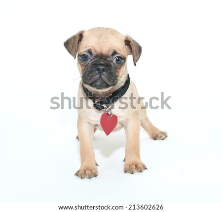 Little Pug puppy wearing a collar and dog tags on a white background.