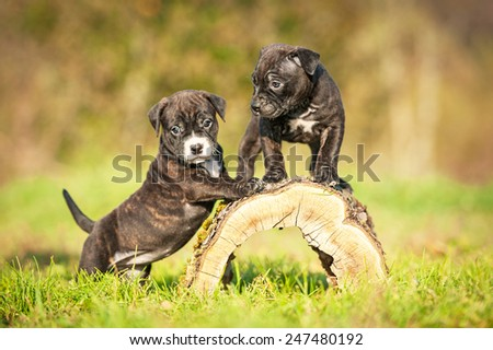 Little puppies playing in the yard in autumn  - stock photo