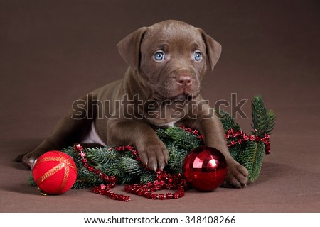 Little Puppy American Pit Bull Terrier with fir branches and Christmas decorations - stock photo