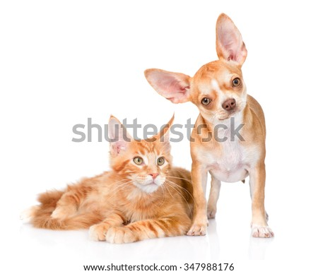 Little puppy and maine coon cat together. isolated on white background - stock photo