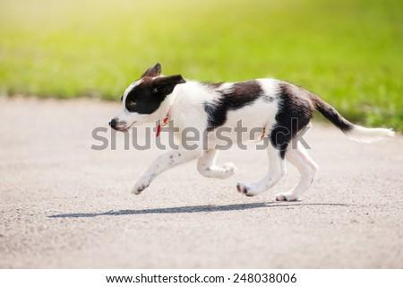little puppy border collie running in summer - stock photo
