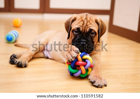 little puppy bullmastiff played in the house - stock photo