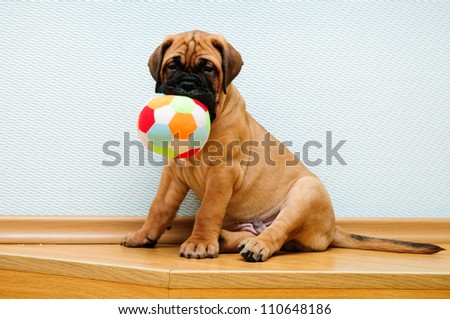 little puppy bullmastiff played in the house. - stock photo