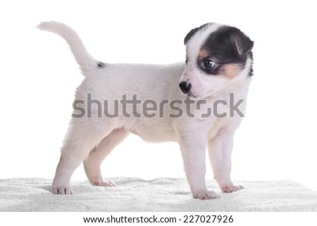little puppy crossbreed. animal isolated on white background