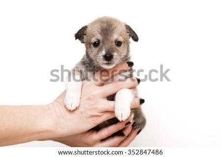 little puppy crossbreed  isolated on white background