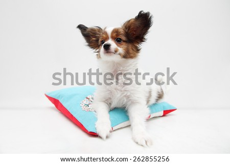 Little puppy dog breed papillon lying on a pillow - stock photo
