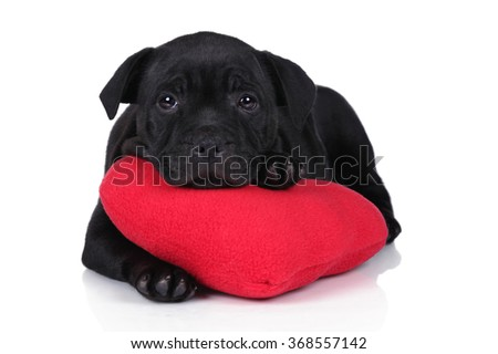 Little puppy on a white background with a red pillow. Puppy English Staffordshire Bull Terrier - stock photo