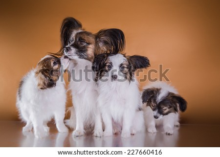 little puppy papillon on a colored background, accessories