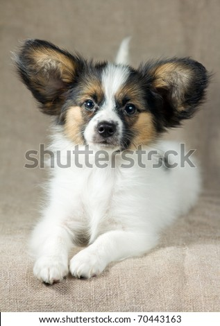 Little Puppy Papillon on a sacking background