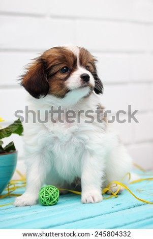 Little Puppy Papillon plays with a ball - stock photo