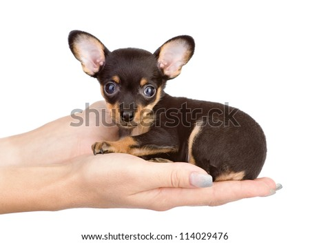 little puppy sitting on the palm of a woman. isolated on white background - stock photo