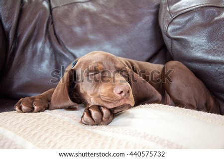 Little puppy sound asleep on the pillow. Mixed breed - mother German pointer, father - Hungarian vizsla