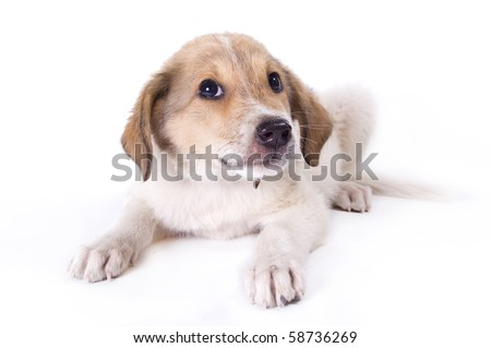 little puppy with a flower isolated on white background - stock photo