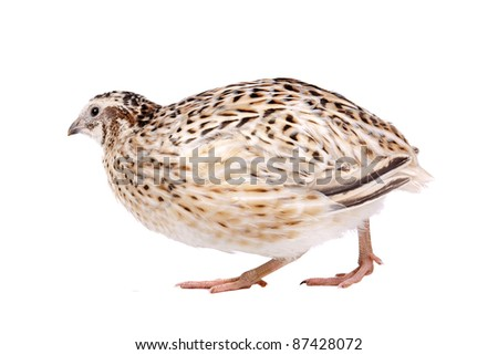 Little quail in front of a white background - stock photo