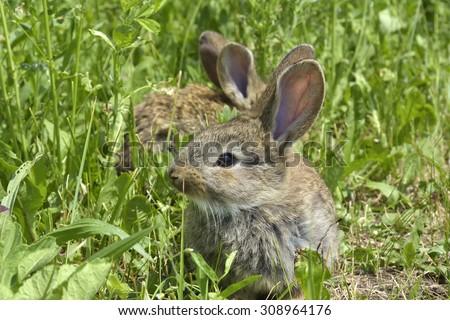 little rabbit is on a pasture - stock photo
