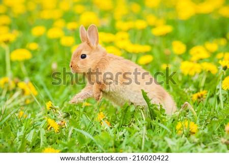 Little rabbit jumping on the field - stock photo