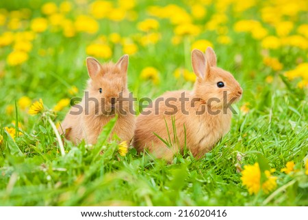 Little rabbits sitting on the field with dandelions - stock photo