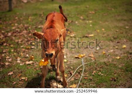 Little red calf chews leaf thoughtfully, pretending he is busy - stock photo