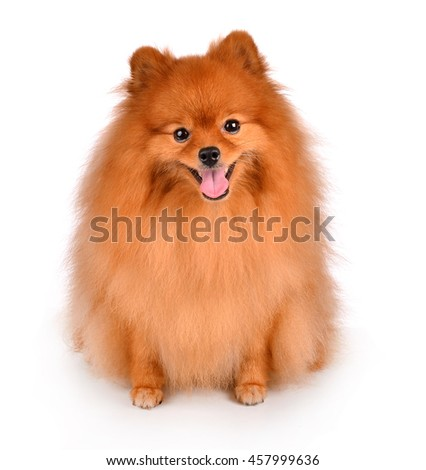 little red dog lying on a white background - stock photo